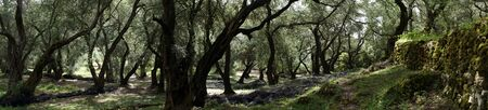 Panorama of olive tree grove in Corfu, Greece Banque d'images