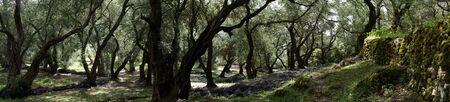 Panorama of olive tree grove in Corfu, Greece Standard-Bild