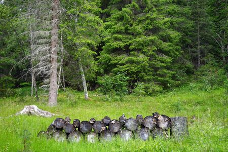 Firewood in forest in Norway 写真素材