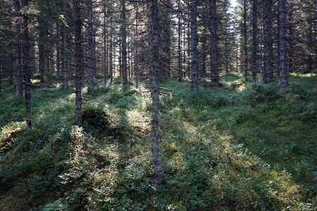 Sunlight in the forest in Norway