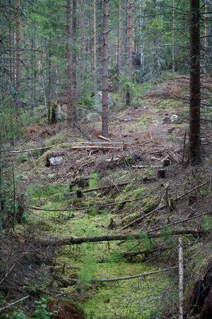 Dsrk spruce forest in Sweeden