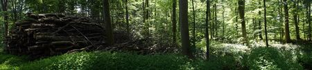 Panorama of forest with firewood in Denmark