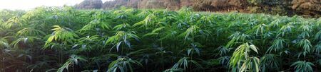 Panorama of marijuana field and forest in Denmark