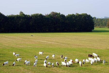 Troupeau de moutons sur le vert pâturage au Danemark Banque d'images