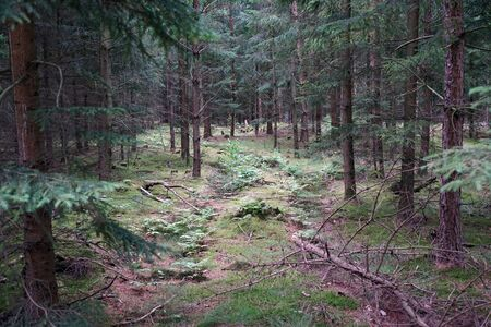 Spruce trees in the forest in Denmark