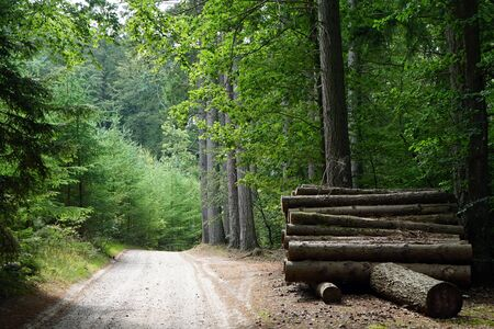 Road and heap of logs in dense forest in Denmark