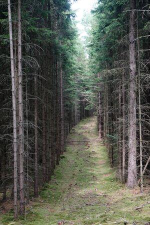Wide footpath in spurce forest in Denmark Stockfoto