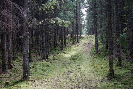Track in spurce forest in Denmark