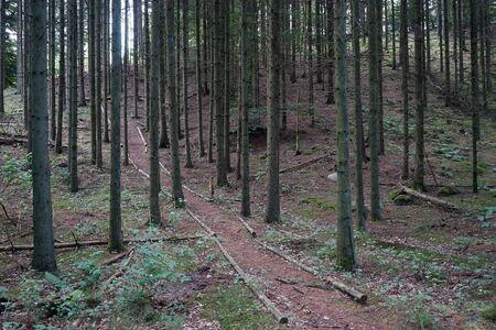 Hill in spruce forest in Denmark