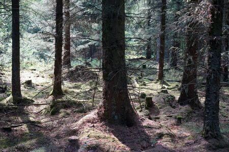 Sunlight in spurce forest in Denmark Stockfoto