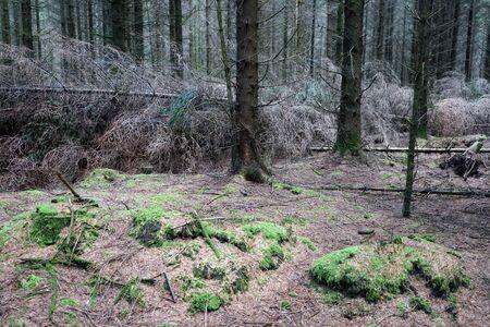 Dense fir forest in Denmark Stockfoto
