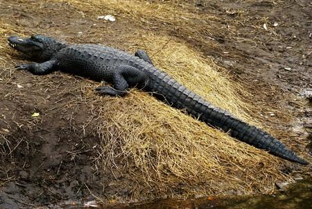 Long Alligator Resting