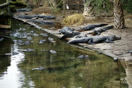 Group of Alligators Waiting
