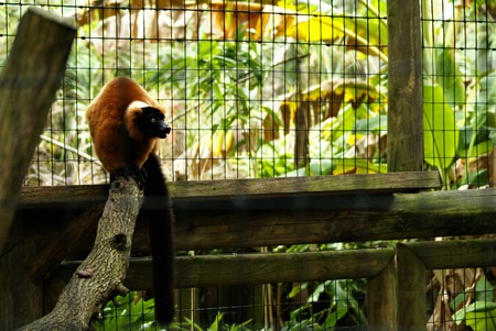 Red Lemur Ready to Pounce