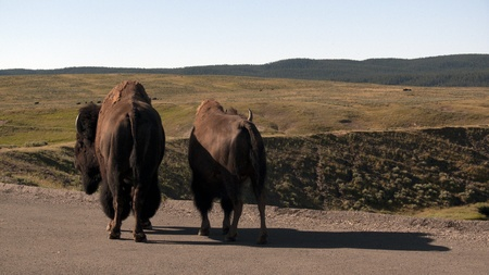 Buffalo couple at road side in Yellowstone National Park