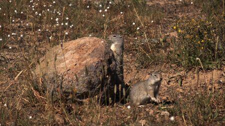 Wiewiórka  Dziki wartownicy pilnujący ich domu wiewiórka Zdjęcie Seryjne