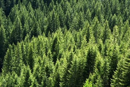 gęste drzewa  gęsty las wczesnych wiosennych z futrami srebrnych świeci Zdjęcie Seryjne