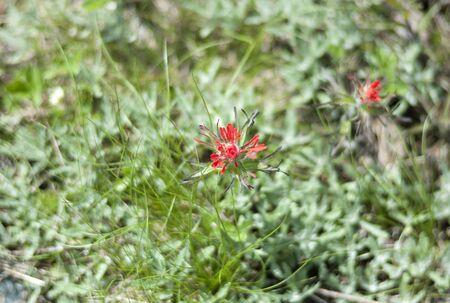 Wild flower blooms in Mount Rainier National Summer in summer.