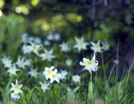 Wild lilies bloom in Mount Rainier National Park in summer. Stock Photo