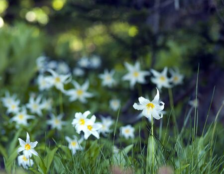 Wild lilies bloom in Mount Rainier National Park in summer. Stock Photo