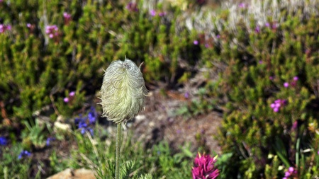 Dziki kwiat kwitnie w Mount Rainier Lato Narodowy w lecie. Zdjęcie Seryjne