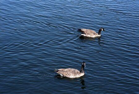 Two wild ducks swim in blue lake.