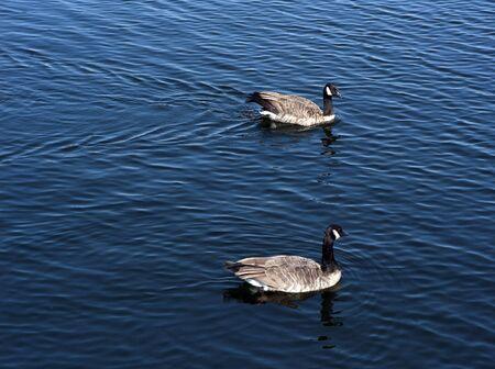 Dwie dzikie kaczki pływają w niebieskim jeziorem. Zdjęcie Seryjne
