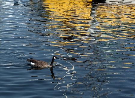 A dzikie kaczki pływa w niebieskim jeziorem z odbicia łodzi. Zdjęcie Seryjne