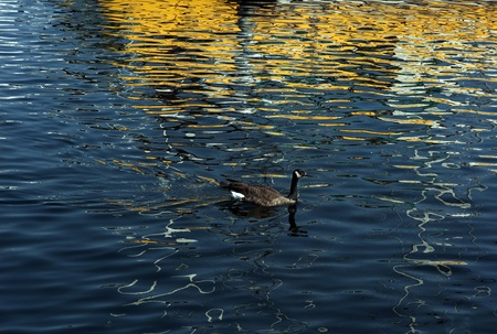 A wild duck swims in a blue lake with boat reflection.