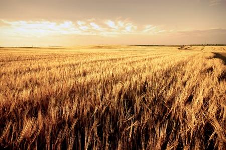 zÅ'oty pszenica dojrzaÅ'a dziedzina zbiór jesienny Zdjęcie Seryjne