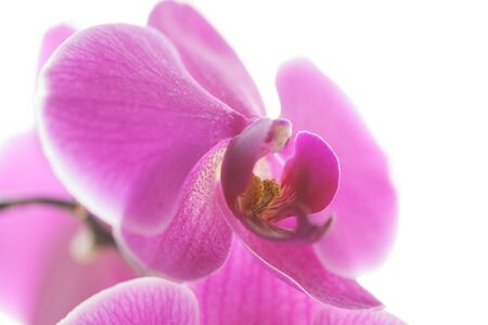 Pink orchid