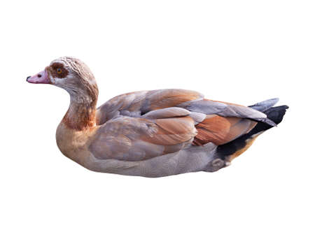 Wild duck Stock Photo
