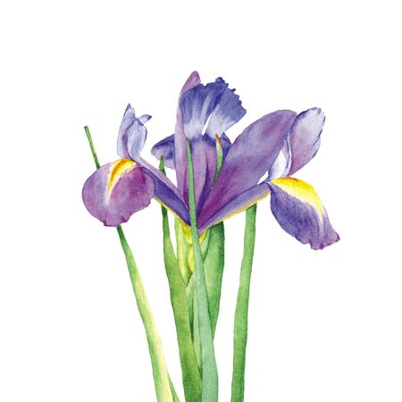 Botanical watercolor illustration of iris with dark blue and violet petals on white background. Could be used for web design, polygraphy or textile