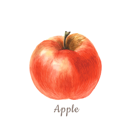 Botanical watercolor illustration of red apple isolated on white background. Could be used as decoration for web design, polygraphy or textile