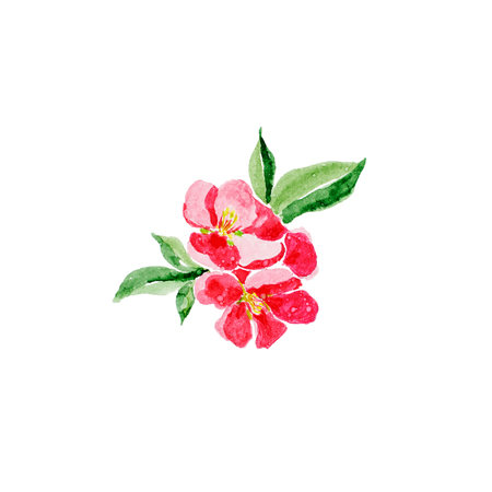 Japanese style. Botanical watercolor illustration of Red quince flower in blossom isolated on white background with description