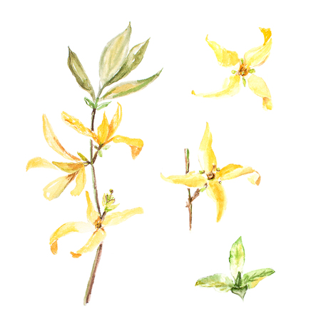 forsythia: Botanical watercolor illustration of forsythia isolated on white background