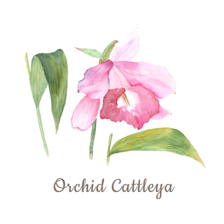 Botanical watercolor illustration sketch of pink cattleya flower on white background