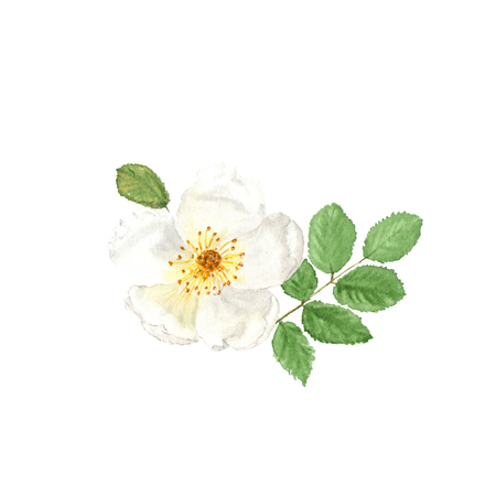 Botanical watercolor illustration sketch of white dogrose on white background