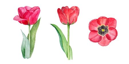 Botanical watercolor illustration sketch of three red tulips on white background Stock Photo