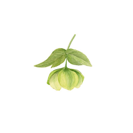 Watercolor botanical illustration of green hellebore isolated on white background