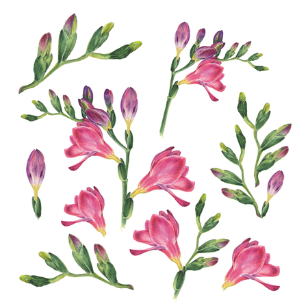 Botanical watercolor illustration of freesia on white background. Could be used web design, polygraphy or textile Stock Photo