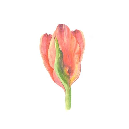 Botanical watercolor illustration sketch of red tulip flower on white background