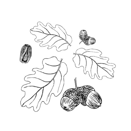 Oak branch with leaves in black ink. Stages. Art illustration. The ornament