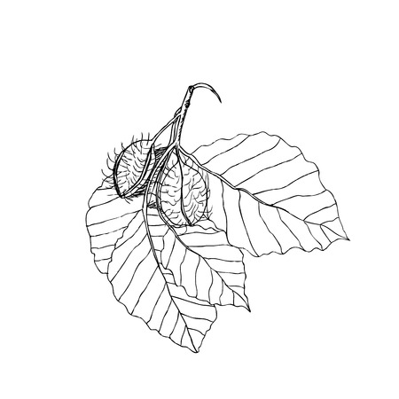 fagaceae: Beech branch with leaves and fruits. Hand drawn botanical vector illustration Illustration