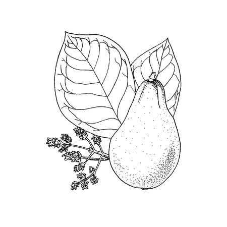 Monochrome vector illustration drawing of avocado Persea Americana on white background