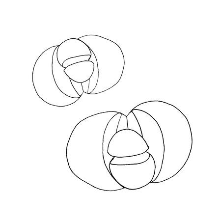 Pleiospilos bolusii Lithops succulent. Liner vector illustration on white background