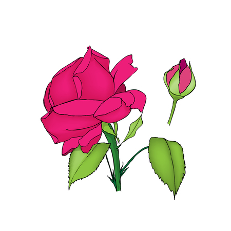 pink and black: Rose flower and bud. Colored vector illustration on white background