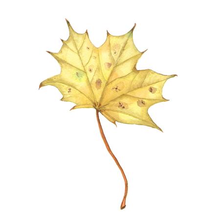 Bright orange watercolor autumn maple leaf isolated on white background. Stock Photo