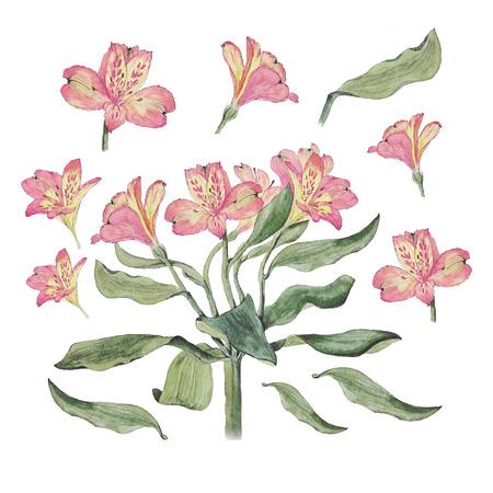 Botanical watercolor illustration of alstroemeria flowers isolated on white background Stock Photo