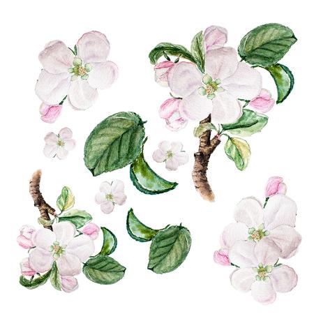 Botanical watercolor illustration sketch set of apple blossom on white background